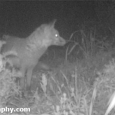 30 Days Wild - Trailcam Fox