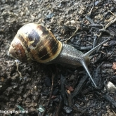 My Patch - Brown Garden Snail