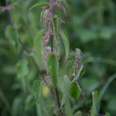 My Patch - Stinging nettle
