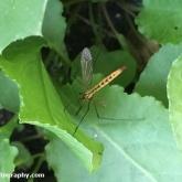 My Patch - Tiger Cranefly (Nephrotoma flavescens)