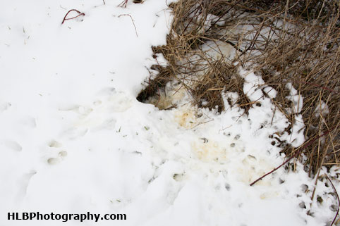 My Patch - Rabbit snow tracks and burrow entrance