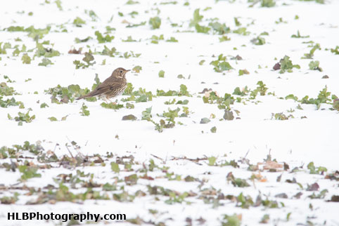 My Patch - Song thrush