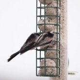 My Patch - Long-tailed tits