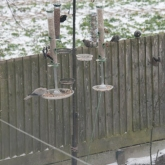 My Patch - Starlings