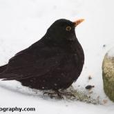 My Patch - Blackbird