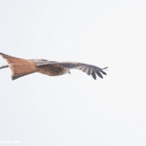 My Patch - Red kite