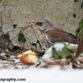 My Patch - Fieldfare
