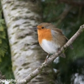 My Patch - Robin