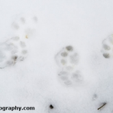 My Patch - Cat snow tracks