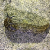 Green cellar slug