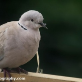 Collard Dove with a broken beak