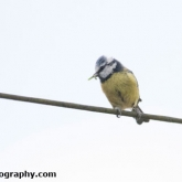 Blue Tit carrying food