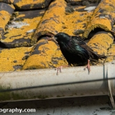 My Patch  - Starling with food