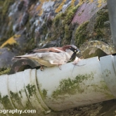 My Patch  - House sparrow with food