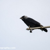 My Patch  - Jackdaw with food