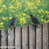 My Patch - Fledging starling