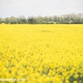 My Patch - Oil-seed rape field