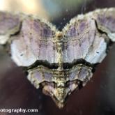 My Patch - Streamer moth