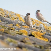 My Patch - Linnet
