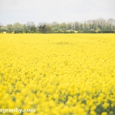 My Patch - Oil-seed rape field