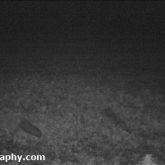 A fox recorded on the TrailCam