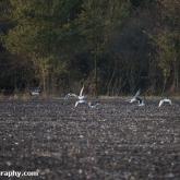 My Patch - Gulls feeding in the field