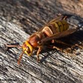 My Patch - European Hornet