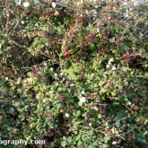 Hawthorn and Brambles in fruit