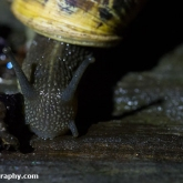 My Patch - Brown garden snail eating blackberries