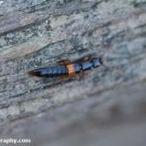 My Patch - Rove beetle (Othius punctulatus)