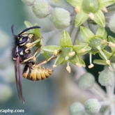 My Patch - common wasp (vespula vulgaris)