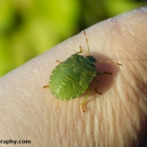 My Patch - Common Green Shieldbug (Palomena prasina)