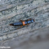 My Patch - Rove beetle (Othius punctulatus)