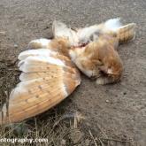Barn Owl Roadkill