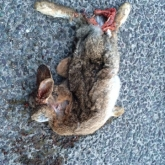 Rabbit Roadkill