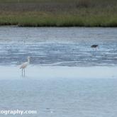 RSPB Arne - Little Egret
