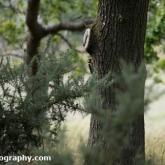 RSPB Arne - Great Spotted Woodpecker