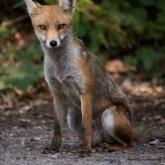 RSPB Arne - Fox