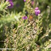 RSPB Arne - Gatekeeper Butterfly