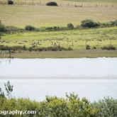 RSPB Arne - Canadian Geese