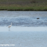 RSPB Arne - Little Egret