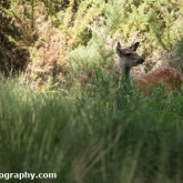 RSPB Arne - Sika Deer