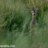 RSPB Greylake - Roe Deer