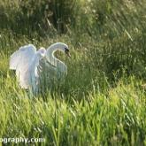 RSPB Greylake - Mute swan