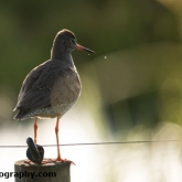 RSPB Greylake - Redshank