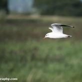 RSPB Ham Wall - Black-headed gull