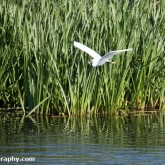 RSPB Ham Wall -Little Egret