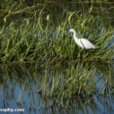 RSPB Ham Wall - Little Egret