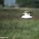 RSPB Ham Wall - Black-headed gull