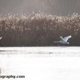 RSPB Ham Wall - Mute Swan